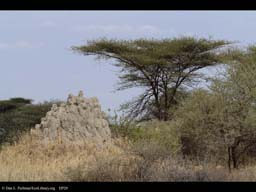 Savanna with Termite nest and Acacia, Tanzania
