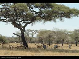 Savanna with Zebras and Impalas, Tanzania