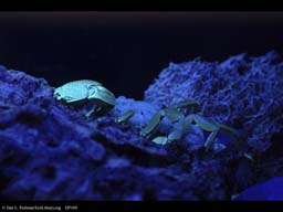 Scorpion and young glowing under UV light