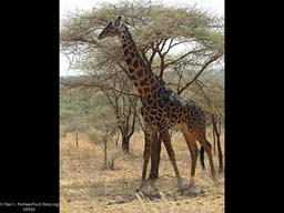 Selection: Giraffe feeds high on trees, Serengeti, Tanzania