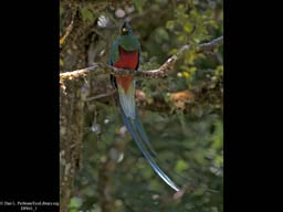 Sexual Selection: Male Quetzal Coloration, Costa Rica