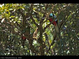 Sexual Selection: Male and Female Quetzals, Costa Rica