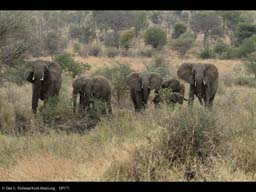 Family of elephants without adolescent male, Tanzania