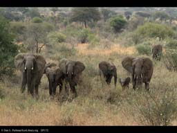 Family of elephants with adolescent male, Tanzania