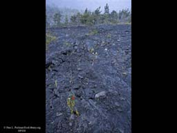 Primary succession on lava flow Hawaii