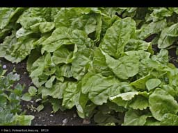 Sugar beet, Beta vulgaris