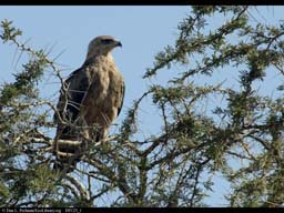 Tawny eagle in tree, Tanzania
