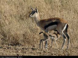 Thomson's gazelle suckling, Tanzania