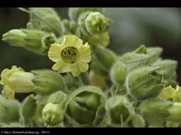 Flower of tobacco, Nicotiana tabacum