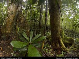 Panorama of Old-growth tropical rainforest in Madagascar