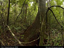 Panorama of Old-growth tropical rainforest