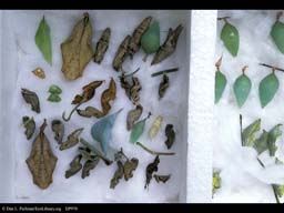 Variation: Butterfly chrysalids or pupae, Costa Rica