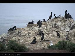 Variation in nest behavior in cormorants, California