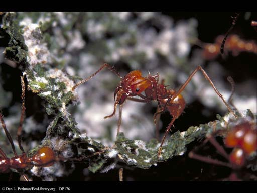 Leaf cutter ant and fungus garden