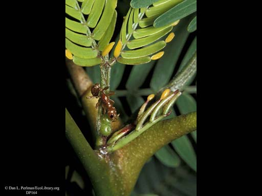 Bullhorn acacia and ant mutualism: ant feeding at extra-floral nectary, Costa Rica
