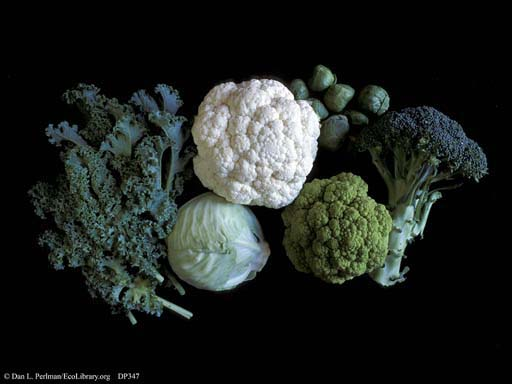 <i>Brassica oleracea</i>, cauliflower, broccoli