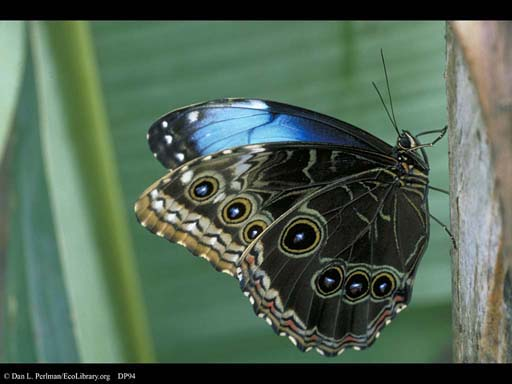 Butterfly adult, Morpho life cycle