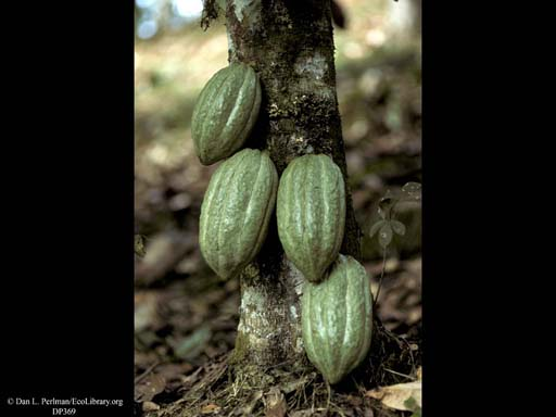 Cacao fruits on tree, <i>Theobroma cacao</i>
