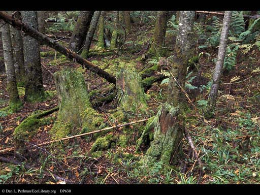 Decaying stumps in spruce-fir forest, Vermont, USA