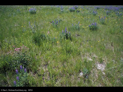 Grassland flowers and bison dung, Montana