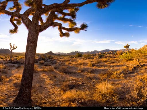 Panorama of Joshua Trees at dawn