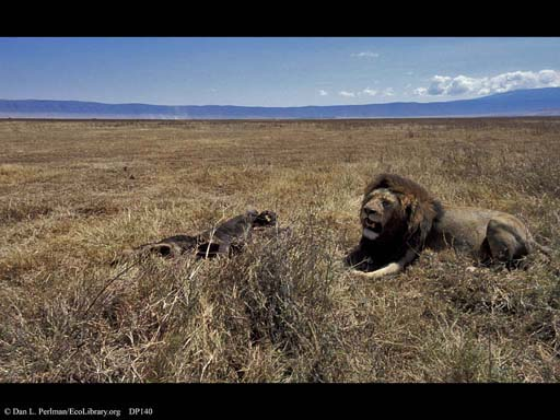 Lion with dead wildebeest, Ngorongoro Crater, Tanzania