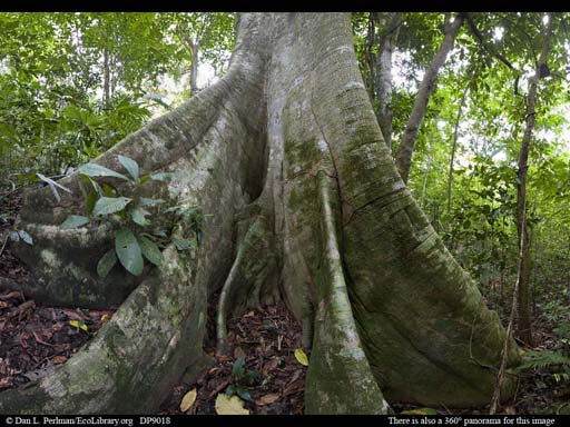 Panorama of Lowland tropical rainforest with giant fig tree