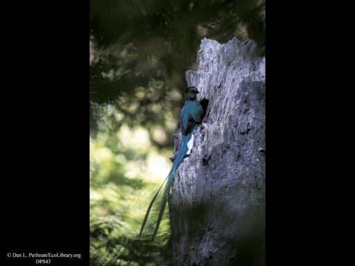Nesting: Male Quetzal at nest tree, Costa Rica