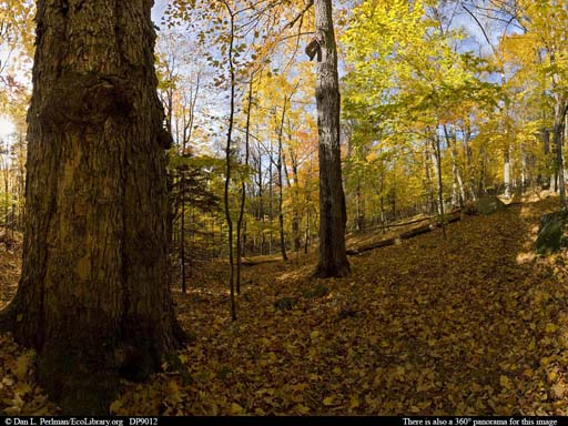 Panorama of Old-growth northern hardwoods forest in Vermont