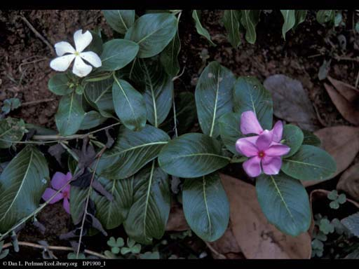 Rosy periwinkle, anticancer plant, India