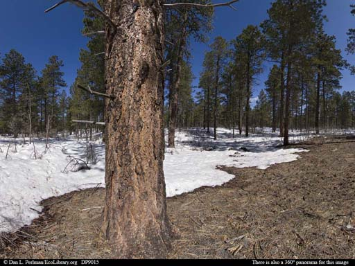 Panorama of Ponderosa pine forest in Colorado