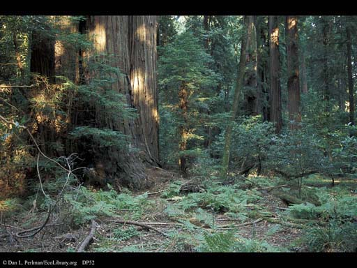 Redwoods forest, California