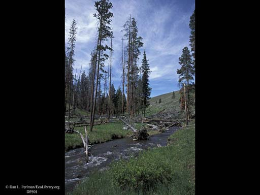 Stream and downed burnt logs, Yellowstone